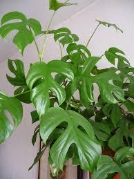 plantes vertes d interieur plantes vertes grimpantes d intérieur l atelier des fleurs