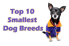 Do Miniature Pinschers Shed by World Top 10 Smallest Dog Breeds Blog