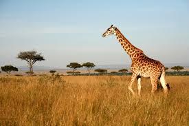 Giraffe Facts Photos