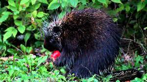 Porcupine Eats Pumpkin by Porcupine Eats Apple Youtube