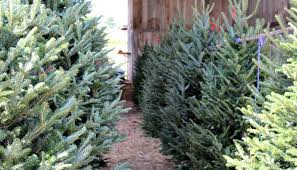 Types Of Christmas Trees To Plant by Christmas Tree Shortage Might Impact Your Holiday Decorating