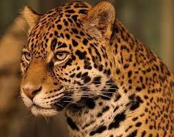 Jaguar Panthera ca Animals A Z Animals