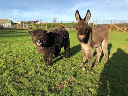100 Folly Famr Orphaned Donkey Makes Friends With Sheep Farm