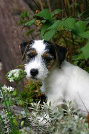 229 Best Best Dog Ever ~ Jack Russell Terrier Images On Pinterest ... Jack Russell Gracie Sold To Chris Dearmon Snow Creek 1813 Best Triers Images On Pinterest 743 Russell Long Haired Jack Trier Puppies For Sale In Kent Google The Russellcolbath Historic Homestead Site The White Mountains New Hampshire Kancamagus Highway Northern England Villages Cute Trier Dog On Stock Photo 574920391 Shutterstock Farm Photos Images Alamy Male Teacup Chihuajack Russellix Lantern Pictures Jackhua 1588
