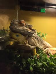 Bearded Dragon Heat Lamp Broke by We Gave Our Bearded Dragon A Toy Lizard Now He U0027s Attached And Won