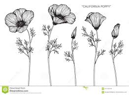 Download California Poppy Flowers Drawing And Sketch Stock Illustration