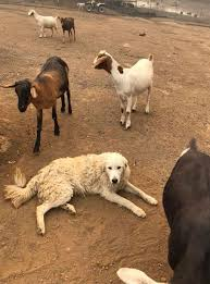 Hero Dog Protects Goats From California Wildfires | PEOPLE.com Pets As Pilgrims Photos Peoplecom Contra Costa Animal Services Home Facebook 180 Best Dog Of Honor Images On Pinterest Marriage Wedding Dogs Bird 5 Darnick Street Underwood Qld 4119 Indtrialwarehouse For Pet Food Care Accsories Big W 91 Dogs In Weddings Shop Warehouse Buy Supplies Online Petbarn 332 Of Course My The Hooves And Paws Rescue Heartland Inc A Place To Heal