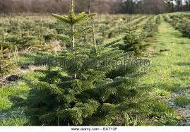 Nordmann Fir Christmas Tree Nj by Christmas Trees Growing Stock Photos U0026 Christmas Trees Growing