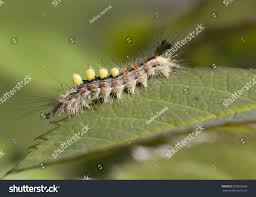 caterpillar unusual beauty young caterpillar yellow stock photo
