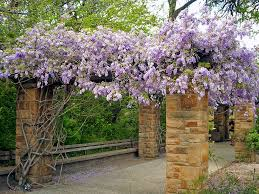 Pumpkin Patch Fort Worth Tx by Wisteria Covered Pergola Fort Worth Botanical Garden A Photo On