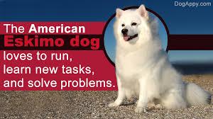 Toy American Eskimo Dog Shedding by American Eskimo Dog