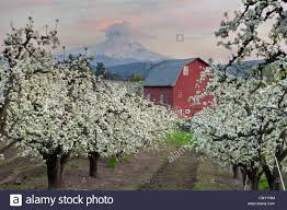 Red Barn In Pear Orchard In Hood River Oregon At Sunset Stock ... Rustic Autumn Wedding Weston Red Barn Farm In Kc Mo Mini Shop Cellar Orchard Wood Shed All On And Stock Photo Image 59789270 Minnesota Harvest Apple Weddingreception Venue The At Gibbet Hill Pictures From The Orchard Weve Got Your Favorite Review Of Park Na Usa Oregon Hood River County Barn Pear Building And Golden Ears Coast Mountains Fall Landscape Unique Bolton Ma A Red Schartner Massachusetts Best Horse Designs Hardscape Design
