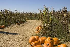 Pumpkin Picking Riverhead by Best Corn Mazes Ny Has To Offer Including Amazing Maize Maze