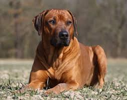 Non Shedding Large Dogs by 50 Best Best Guard Dog Breeds Images On Pinterest Guard Dog