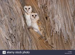 Barn Owl (Tyto Alba) 2 On A Palm Tree At Night, Hefer Valley ... Barn Owl Perching On A Tree Stump Facing Forward Stock Photo The Owls Of Australia Australian Geographic Audubon Field Guide Beautiful Perched 275234486 Barred Owl Vs Barn Hollybeth Organics Luxury Skin Care Why You Want Buddies Coast News Group Sleeping By Day Picture And Sitting Venezuela 77669470 Shutterstock Rescue Building Awareness Providing Escapes And Photography Owls Owlets At Charlecote Park Barnaby The Ohio Wildlife Center