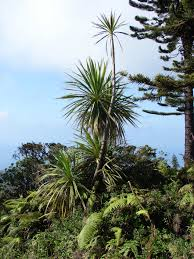 Christmas Tree Species Nz by Te Papa U0027s Blog New Zealand Plants Abroad Part 2 The Troublemakers