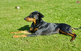 Do Miniature Doberman Pinschers Shed by Pinscher Dog Breed Information Buying Advice Photos And Facts
