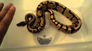 Snake Skin Shedding Lucky by Update Video Fire Ball Python Shed And Weigh Ins Youtube