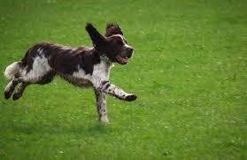 Field Springer Spaniel Shedding by English Springer Spaniel Information Dog Breeds At Dogthelove