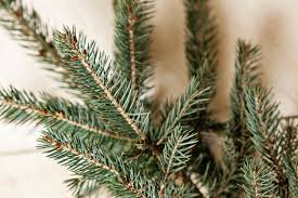 Christmas Tree Sapling Care by Home Web Site Name