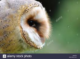 Barn Owl Centre Stock Photos & Barn Owl Centre Stock Images - Alamy White And Brown Barn Owl Free Image Peakpx Sd Falconry Barn Owl Box Tips Encouraging Owls To Nest Habitat Diet Reproduction Reptile Park Centre Stock Photos Images Alamy Bird Of Prey Tyto Alba Video Footage Videoblocks Barn Owl Tyto A Heart Shaped Face Buff Back Wings Bisham Group Bird Of Prey Clipart Pencil In Color British Struggle Adapt Modern Life Birdguides Beautiful Owls Pulborough Brooks The