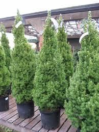 Fraser Christmas Tree Care by Fraser Fir Huntersgardencentre Com