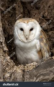 Young Barn Owl Tyto Alba Roost Stock Photo 206862550 - Shutterstock This Galapagos Barn Owl Lives With Its Mate On A Shelf In The Baby Barn Owl Owls Pinterest Bird And Animal Magic Tito Alba Sitting On Stone Fence In Forest Barnowl Real Owls Echte Uilen Wikipedia Secret Kingdom Young Tyto Roost Stock Photo 206862550 Shutterstock 415 Best Birds Mostly Uk Images Feather Nature By Annette Mckinnnon 63 2 30 Bird Great Grey