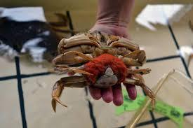 Halloween Hermit Crab Lifespan by Crab Archives Oregon Coast Aquarium