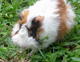 Pine Bedding For Guinea Pigs by Keeping Guinea Pigs As Pets