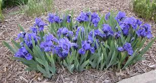 growing irises all season garden design for living