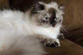 Excessive Hair Shedding In Cats by What Causes Matted Cat Hair Cuteness