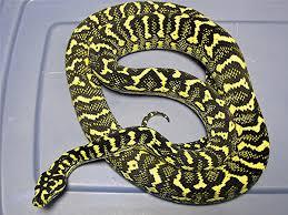 Coastal Carpet Python Facts by Breeding Carpet Pythons
