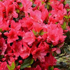 azalée japonaise arabesk plantes et jardins