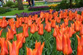 tulip ballerina dutchgrown