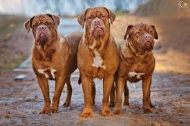 Do Vizsla Dogs Shed by Dogue De Bordeaux Dog Breed Information Buying Advice Photos And