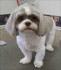 Shih Tzu Short Haircut animals Pinterest