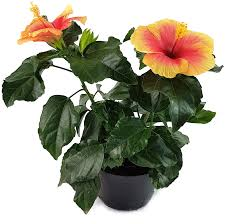 hibiscus seppe hawaii hibiskus