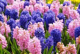 hyacinth san diego mix dutchgrown