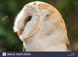 Head Barn Owl Stock Photos & Head Barn Owl Stock Images - Alamy Watch The Secret To Why Barn Owls Dont Lose Their Hearing 162 Best Owls Images On Pinterest Barn And Children Stock Photos Images Alamy Owl 10 Fascating Facts About Species List Az 210 Birds Drawing Photographs Of Cave By Tyler Yupangco 312 Beautiful Birds