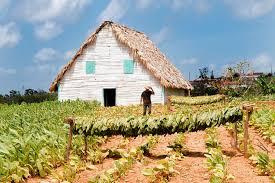 A Tobacco Farm In Vinales Valley