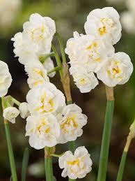 bridal crown daffodils cut flowers