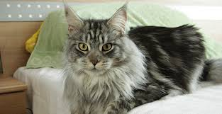 haired cat top 12 most expensive cat breeds in the world vs bengal
