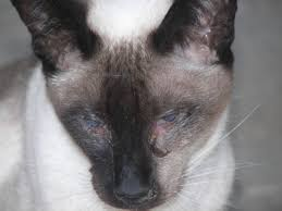 fleas on cats symptoms cat flu symptoms treatment causes of cat flu