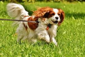 Non Shedding Dogs Small To Medium by Top 10 Dog Breeds For Apartments