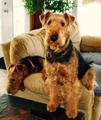 Airedale Terrier Non Shedding by Airedale Terrier Puppy Dog Airedale Terrier Pinterest