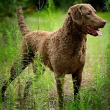 Chesapeake Bay Retriever Vs Lab Shedding by Chesapeake Bay Retriever Vs German Shorthaired Pointer Full