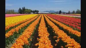 skagit valley tulip festival mt vernon washington