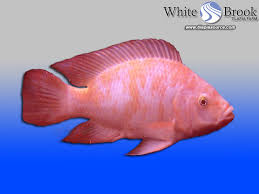 Red Nile Tilapia Fingerlings
