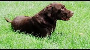 Chesapeake Bay Retriever Shed Hunting by Dogs Chocolate Labs Labrador Retriever Funny Dog In Grass