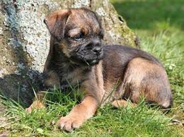 Do Border Terriers Shed by Border Terrier Dog